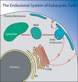 Figure: The Endosomal System of Eukaryotic Cells